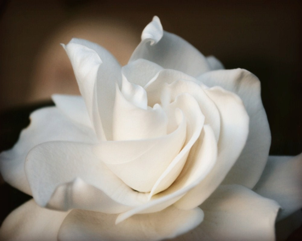 Gardenia Floral Photography Flowers,bisque,white,Gifts under 25,glowing,ivory, - VanillaExtinction