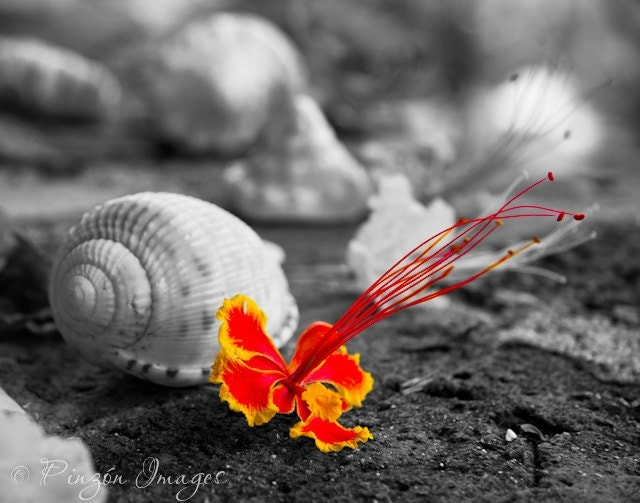 11x14 Pride of Barbados Flower with Shells Photo Print, Matted and Signed, Red and Yellow, Caribbean, Hawaii, Tropical Art - PinzonImages