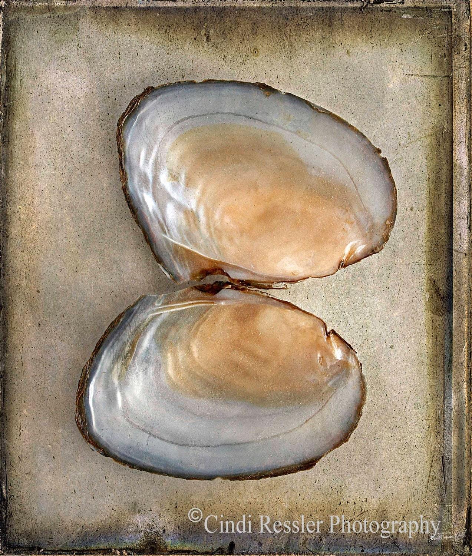 Bivalve SeaShell, 5x7 Fine Art Photogrpahy, Seashell Photography - CindiRessler
