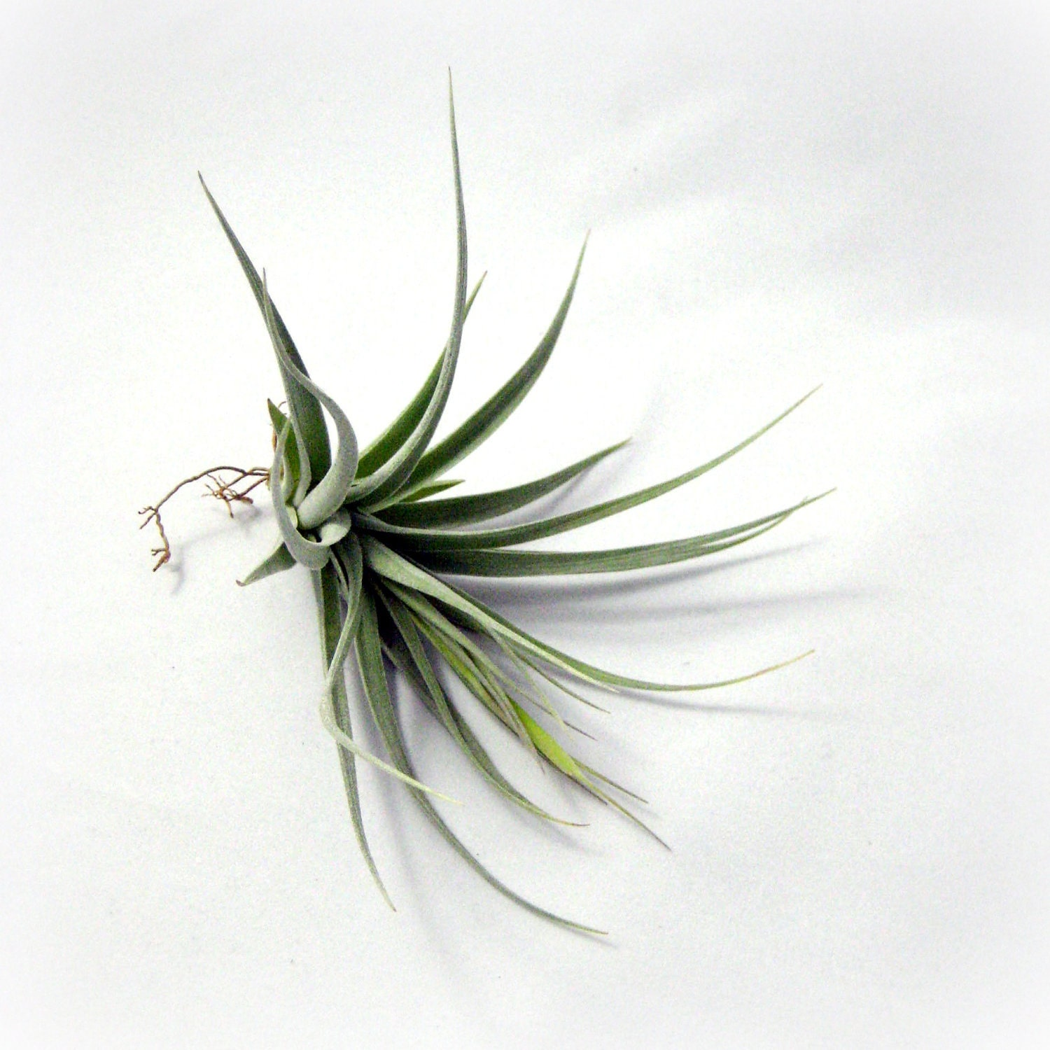 Medium Leonamiana x Stricta // Air Plant - seaandasters
