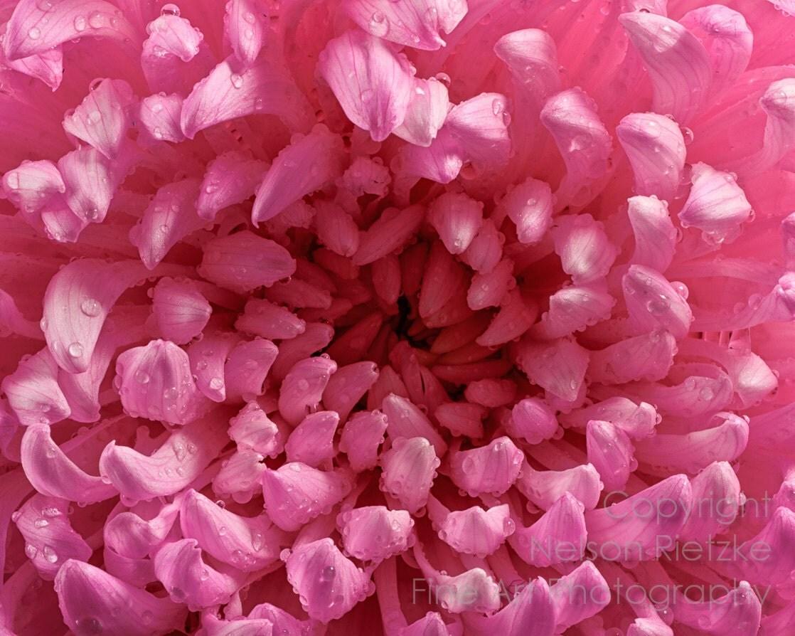 8x10 Print, Macro Photograph, Dew Covered Pink Flower - NelsonRietzke