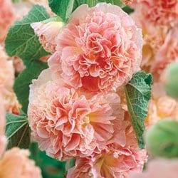 Hollyhock Peaches n Dreams, Perennial Flower Seed - CheapSeeds