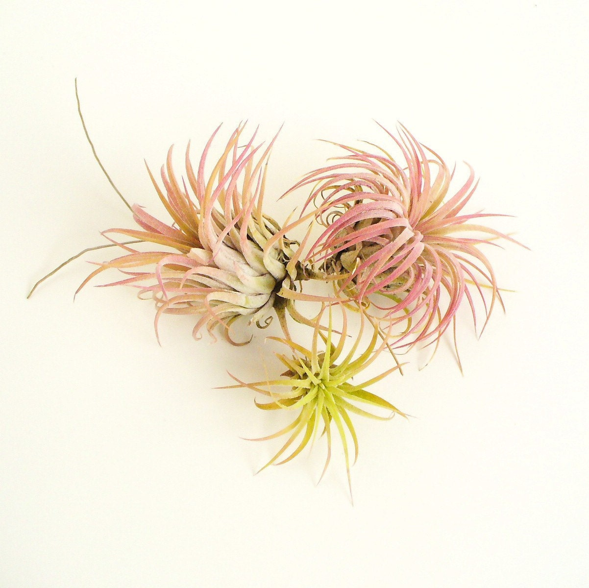 set of three ionantha varieties, with pinks