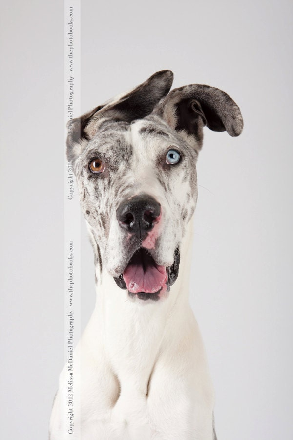 Faith, Limited Edition Print (Great Dane, Deaf Dog), 8x12 - mcdaniel