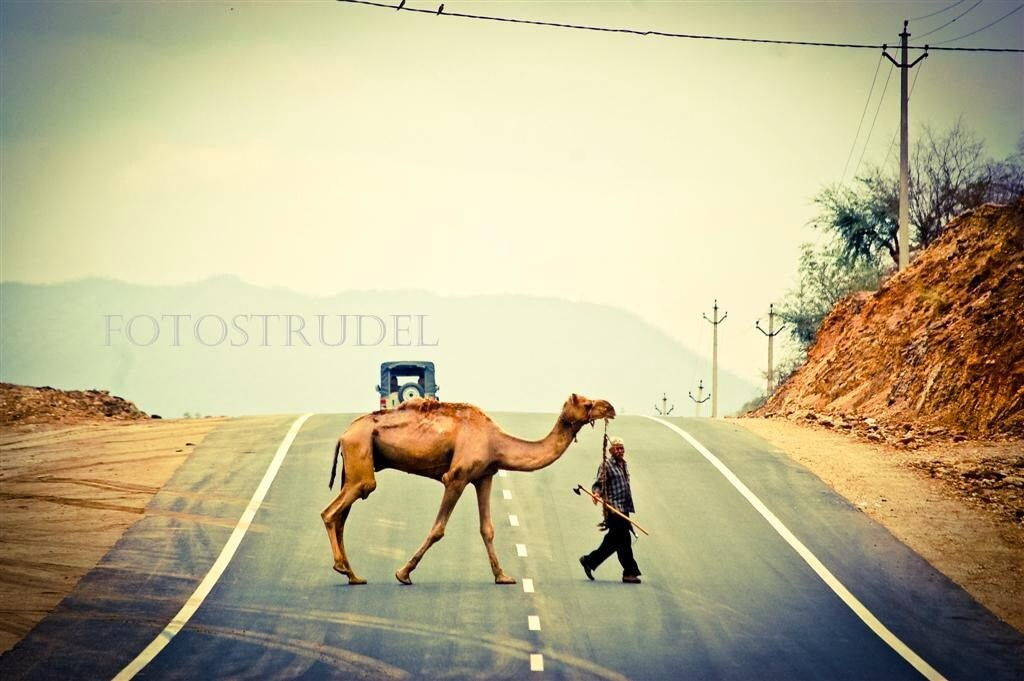 "India Photograph. Camel Crossing in Rajasthan, India - 6"" x 9"" - fotostrudel"