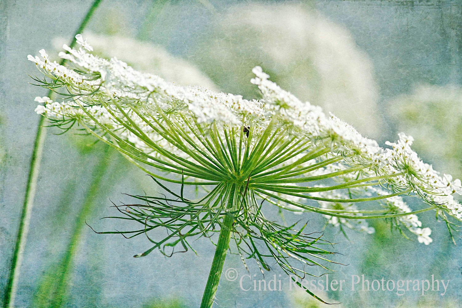 Queen Anne's Lace 3, 5x7 Fine Art Photography, Flower Photography, Floral Photography - CindiRessler