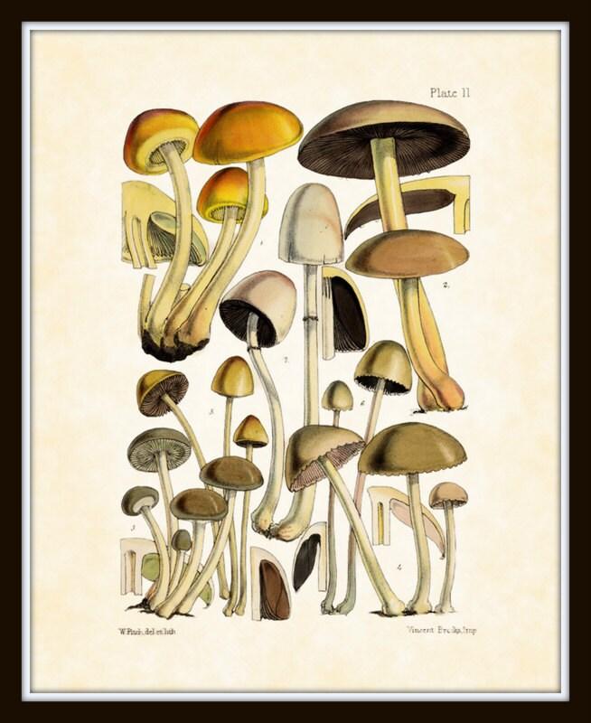 Mushroom Series 1 - Plate 6 - Antique Botanical Print 8 x 10 Home Decor Home and Garden Wall Decor - BelleBotanica