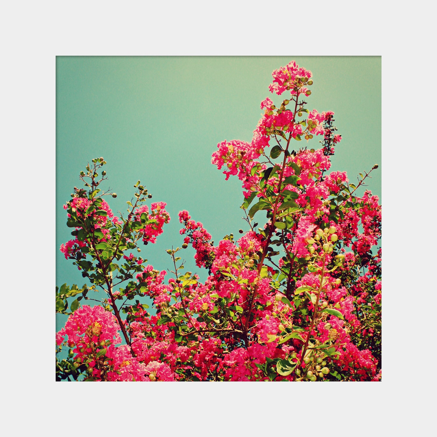 Crepe Myrtle: square fine art floral photograph print with pink blooming flowers and blue sky - UninventedColors