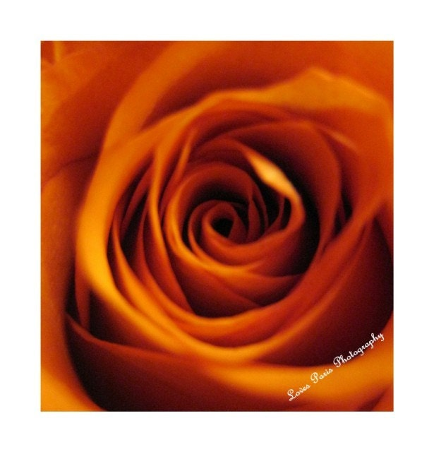 Peach Rose Photo, 10 x 10, Fine Art Photograph