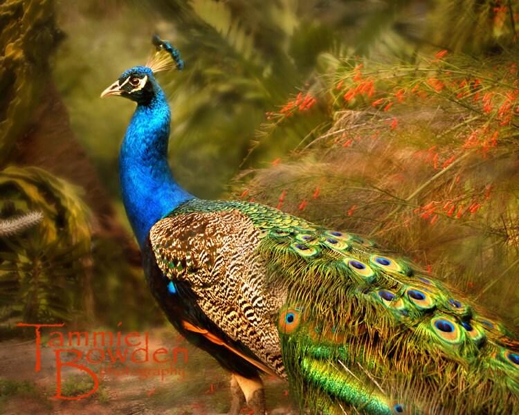 Peacock in the Garden - Original Photograph 8x10 - TammieBowdenPhoto