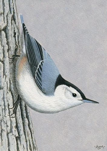 ACEO Original Miniature Acrylic Bird Wildlife Painting - White-breasted Nuthatch - AJMWildlifeArt