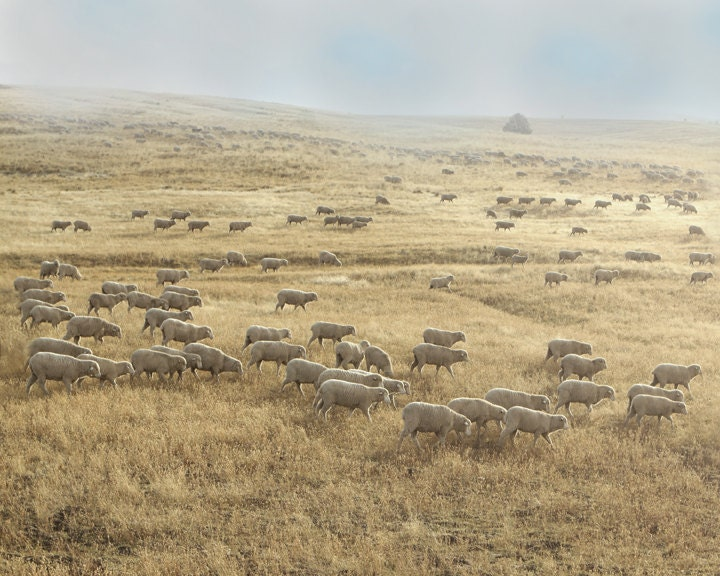 Sheep Art Fine Art Photography Harvest Farm Landscape 16x20  Archival Photograph - lucysnowephotography