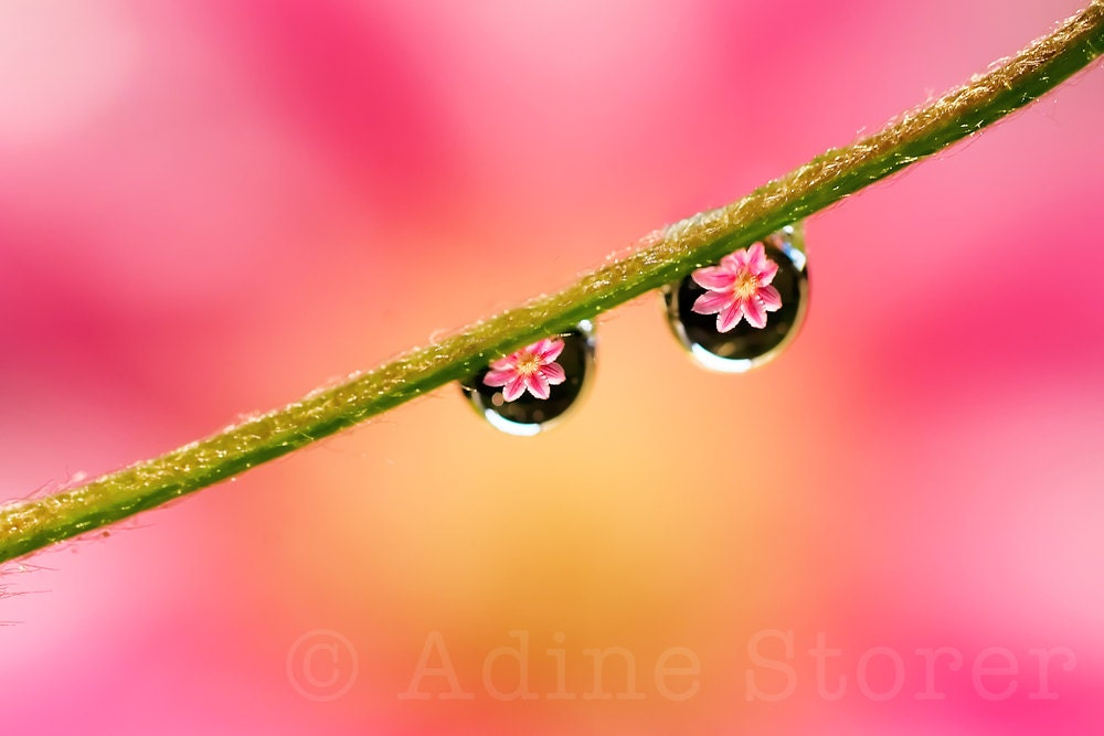 Pink and Yellow Clematis refracted in Water Drops, Macro Color Photography, 12 x 8 inches Canson Platine Fibre Rag - AdineStorer