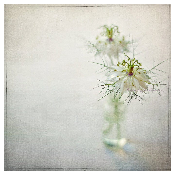 Nigella damascena Photo Love in a mist Devil in the bush Flowers Floral 5x5 Fine Art Prints,Fpoe - BitsofLifeImages