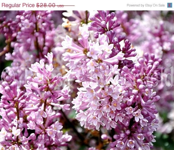 40% OFF SALE PURPLE Lilac - 8 x 10 - Spring Blooms, Northwest Cottage Garden Photo, Peaceful Garden Wall Art Tranquil Pale Pink Flowers - PhotosByChipperfield