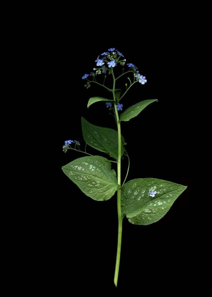 Brunnera macrophylla,   5x7 photography scanography - emmarts