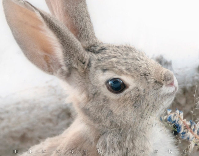 Easter, Bunny Rabbit, Spring Photograph, Wild Desert Cottontail, 8x10 - MurrayBolesta