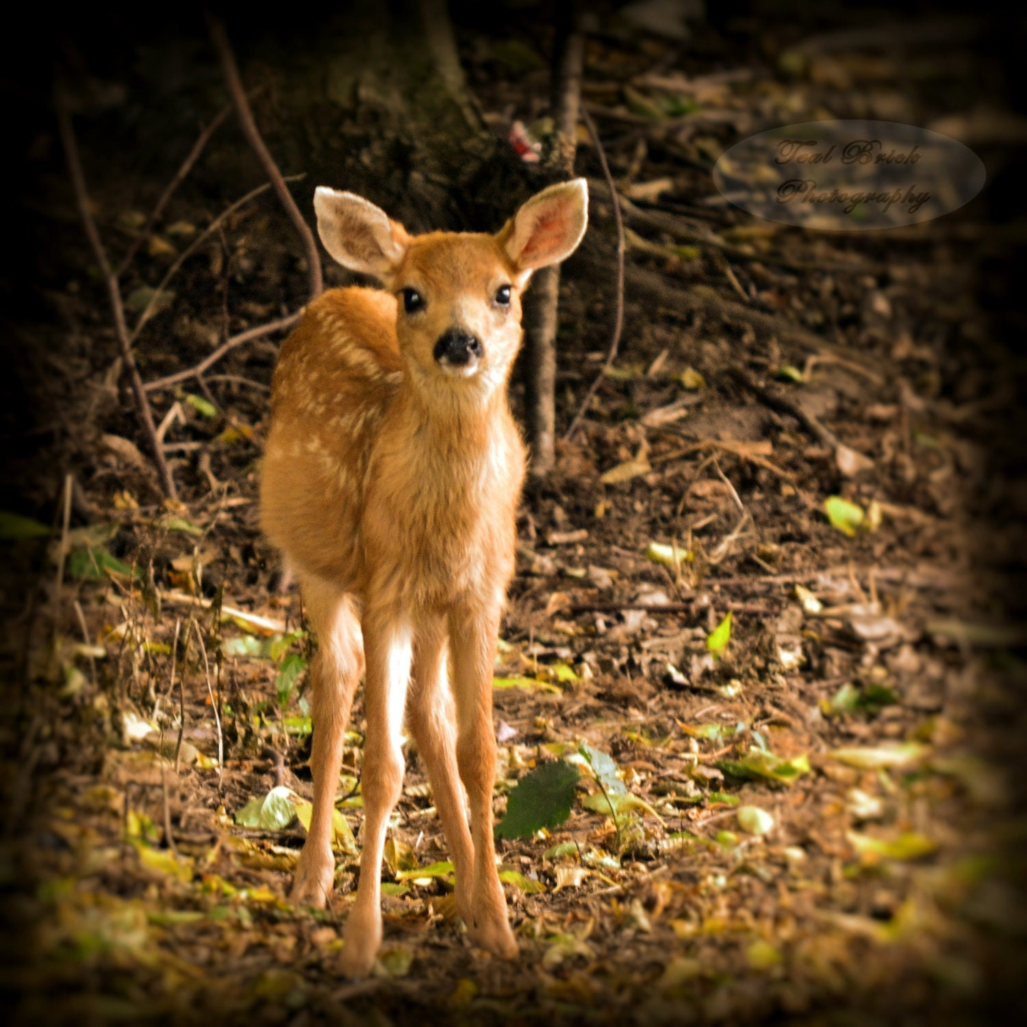5X5 Baby Deer, Fawn, Autumn, All Ears Square Photograph with Black Backing frame