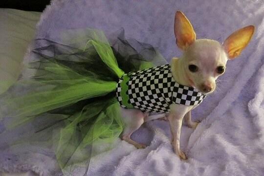 Известь и шашки собак Туту Harness платье