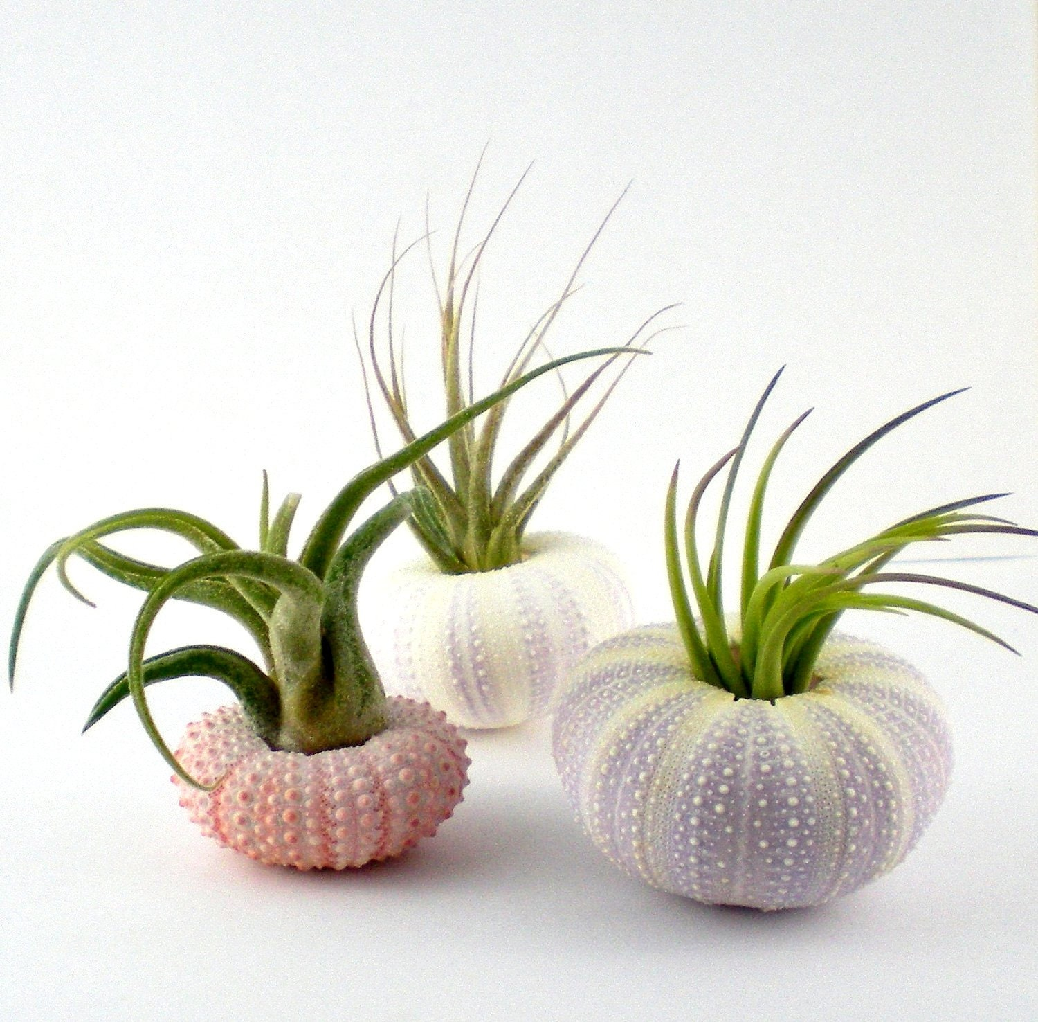 Three Air Plants in Sea Urchin Shells:  Pink and Purple Nautical Tillandsia Set - Plantzilla