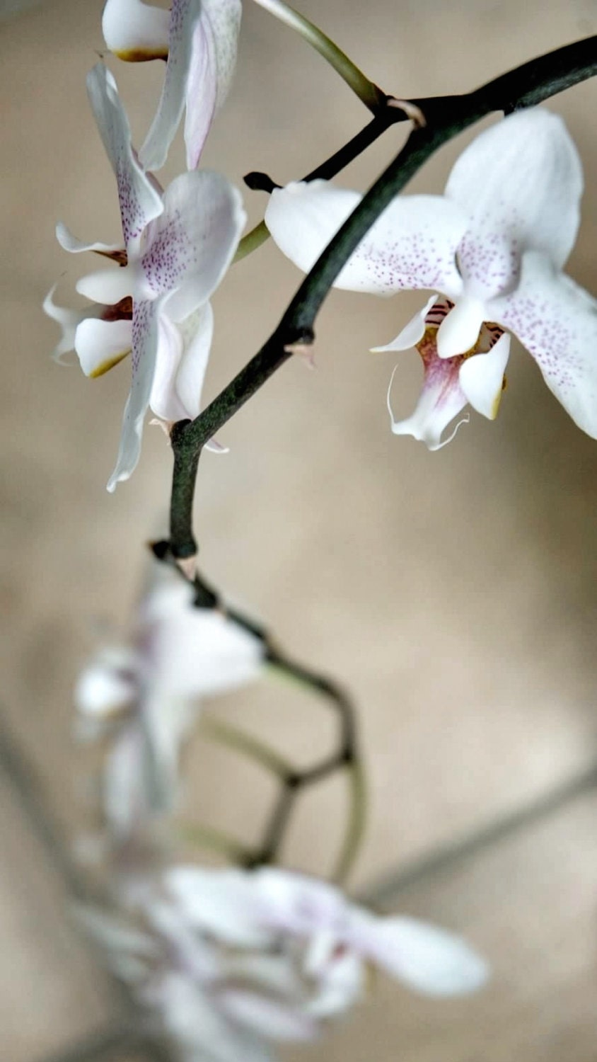 Orchid Study, 12x24in fine art print ready to frame, flower photography - PollenPictures
