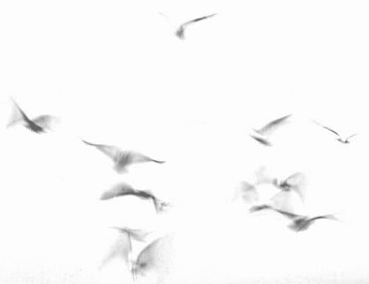 Hampton Beach 1, Gulls in Flight 1980  Black and White Photograph - RichardGulezianPhoto