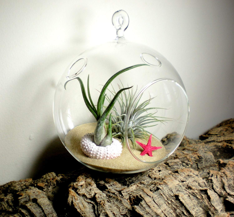 Hanging Air Plant Terrarium With Sea Urchin and Starfish Glass Terrarium