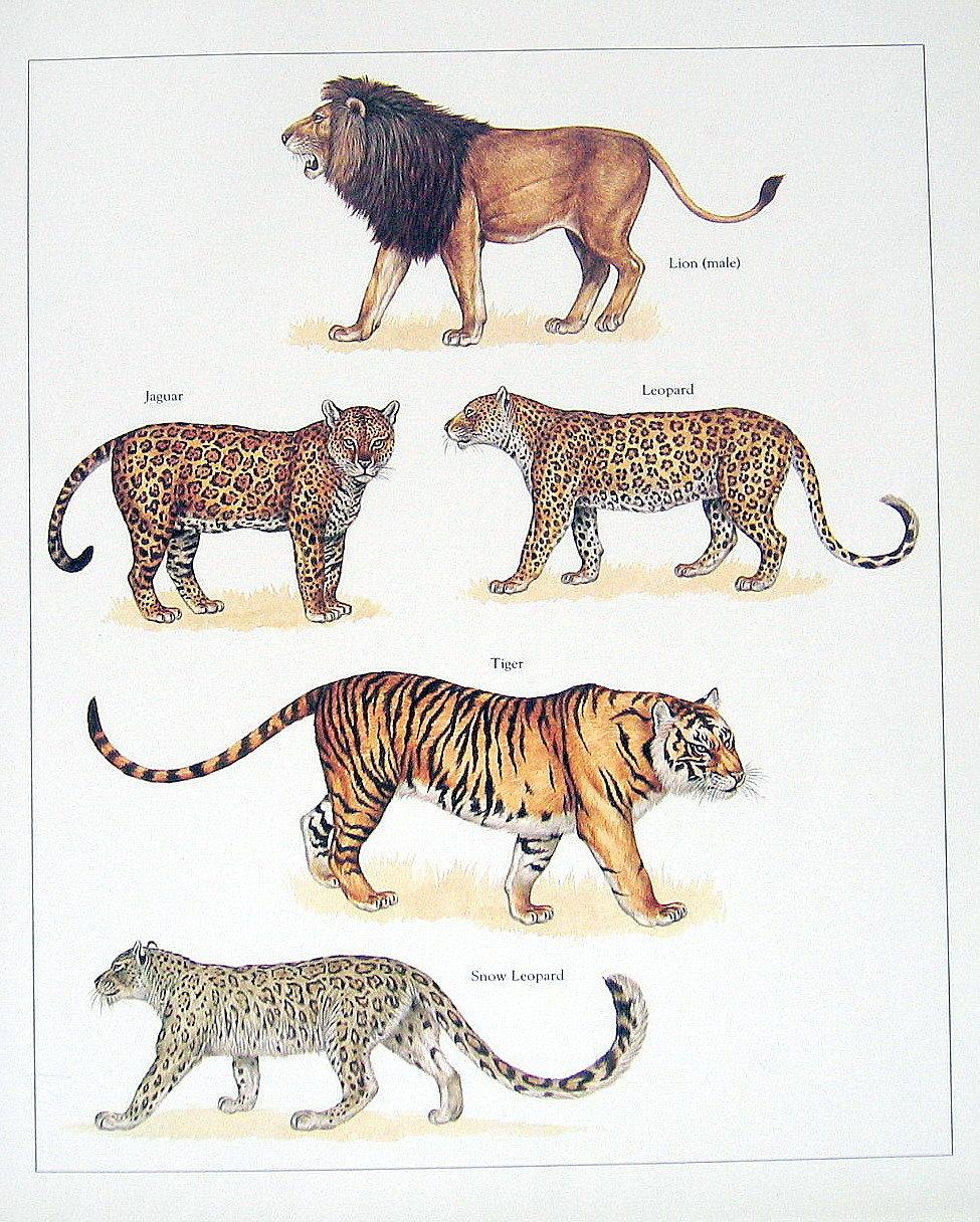 Lion, Jaguar, Leopard, Tiger, and Snow Leopard