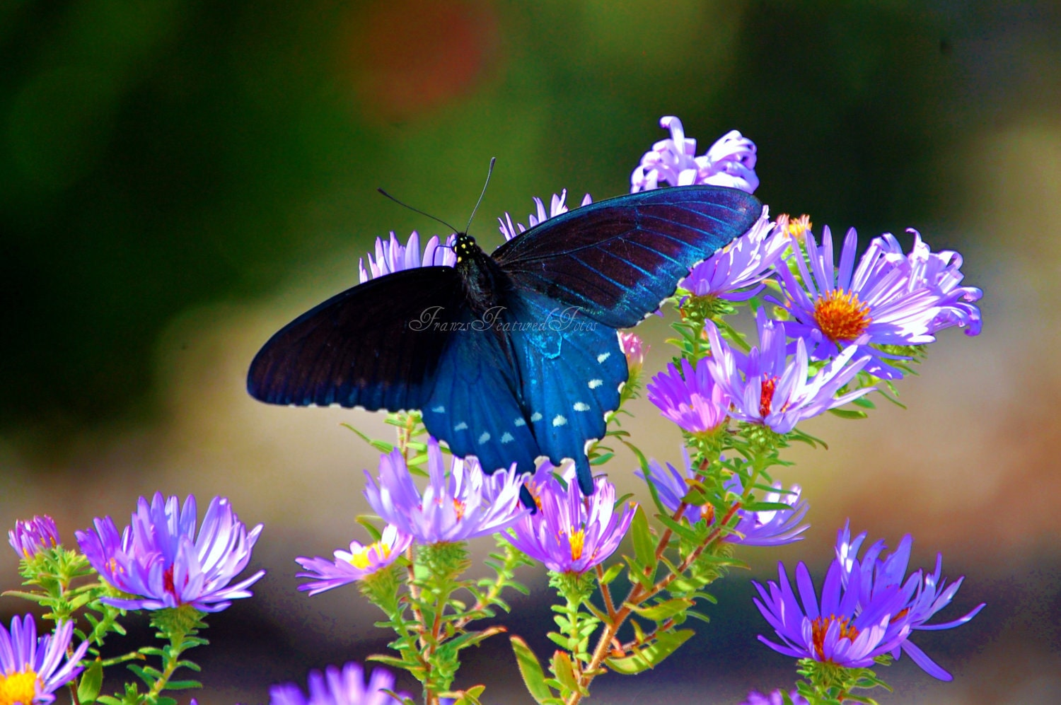 Butterfly Nature Macro Photography 8x10  Home Deco Print- Flower Photography-Landscape -Pinks-Purples-Black-Blue - FranzsFeaturedFotos