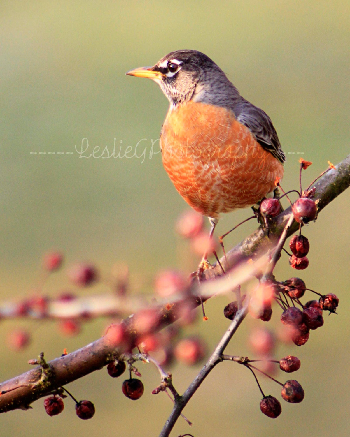 Spring Robin - Digital Photography - LeslieGPhotography