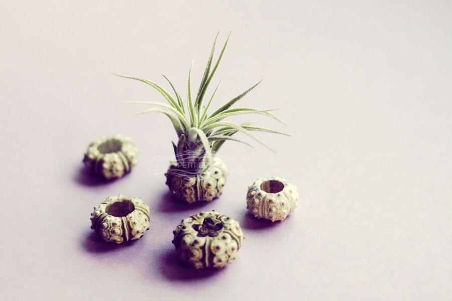 2 Small Sputnik Air Plant // Green Sea Urchin shell tiny cute