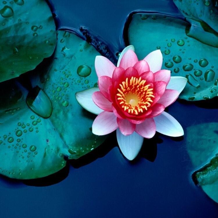 LOTUS LAKE tm Tea Water florals perfume oil roll by themefragrance