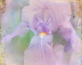 Wild Iris Fine Art Photograph 8 x 8  Tagt Shabby Chic Lilac Lavender White Green Romance Nature Floral