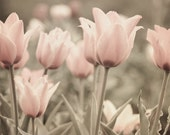 Mixed Media Photo of Garden of Soft Pink Tulips Entitled Gentle Morning - Fine Art Photo - 8 X 10 - CarlaDyck