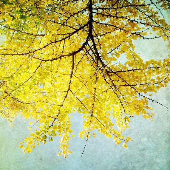 "Lemon Yellow, Tree photograph,  citrus, autumn leaves, Japanese, tree branches,  pale blue sky   ""Ginkgo""  8x8"