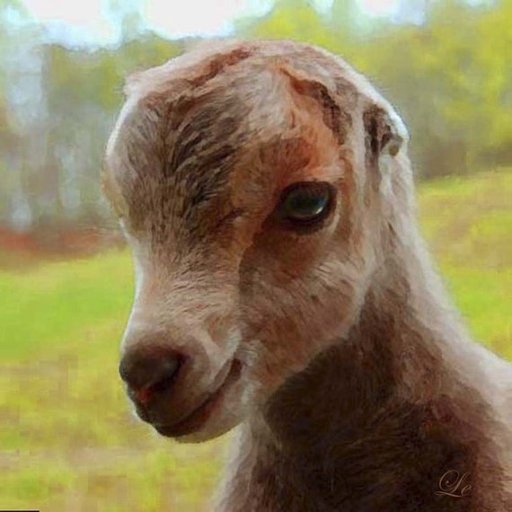 Goats for Sale  6 Mistakes to Avoid When Buying Goats