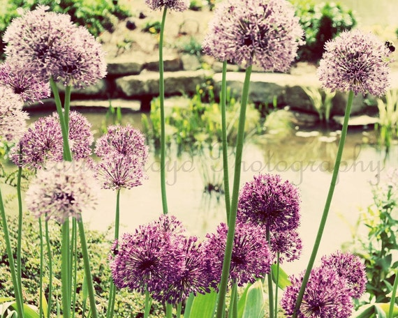 Allium Garden - 8x10 Fine Art Flower Photography Print - purple and green vintage inspired flowering onion plant home decor photo