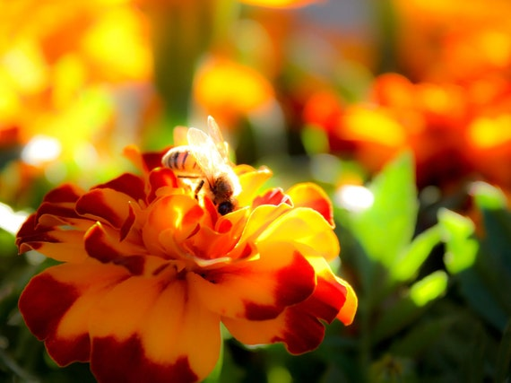 Bee and Marigolds