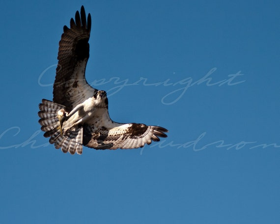 Osprey and fish,  8x10 fine art matted and signed print.