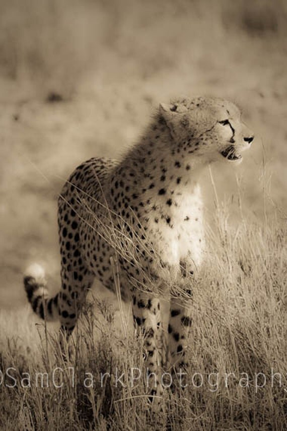 African Cheetah Photograph - Wall Art - Nature Photography, Gift, sepia, 8x12 inch