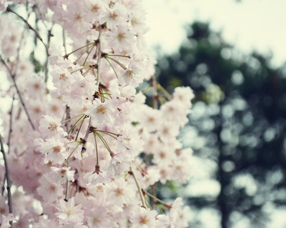 Cherry Blossoms // 8x10 Original Photography Print // Fine Art Floral Photograph // spring pink soft feminine cherry flowers