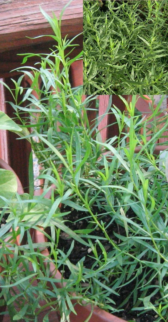 how to grow french tarragon