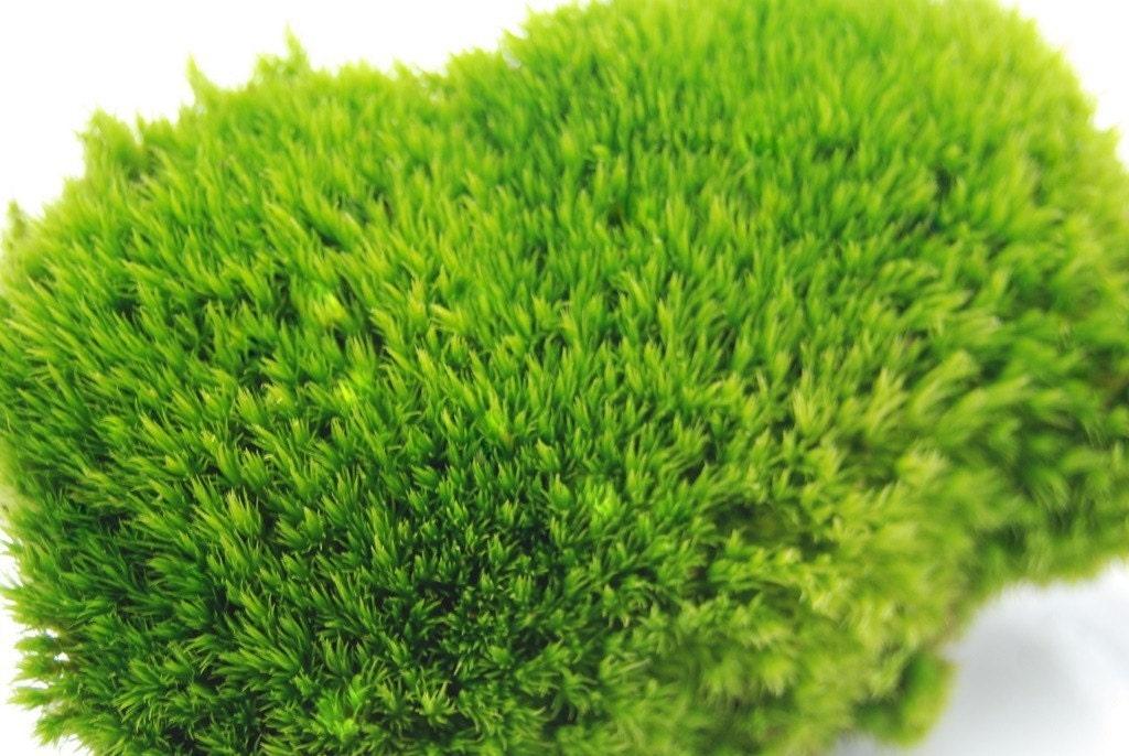 Kingdom Plantae Phylum Anthophyta Kingdom Plantae Phylum